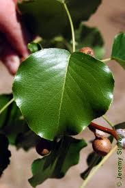 rosaceae pyrus calleryana callery pear lab 11