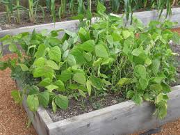 david frisk blog in my garden italian roma bush beans