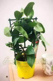 standing trellised scent lemon citrus fruit tree pot outdoor