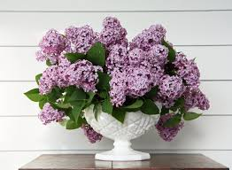 156 best for the love of lilacs images on pinterest flowers