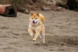 What Breed Is Doge Meme - dogs shiba inu running dogs photo 32502200 fanpop fanclubs