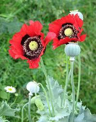 poppy wikiwand