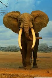 apple wallpaper elephant los angeles natural history museum 4k hd desktop wallpaper for
