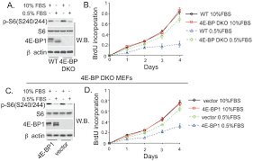 Serum Bps 4e bps regulate cell proliferation in low serum conditions a and c