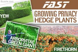 best hedges to plant fast growing and elegant privacy hedges