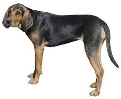 videos of bluetick coonhounds training coonhounds the sensible way