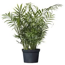 chamaedorea elegans potted plant ikea this would look great in