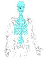 Appendicular Skeleton Worksheet File Axial Skeleton Diagram Blank Svg Cc Cycle 3 Pinterest