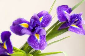 iris flowers iris flower meaning flower meaning