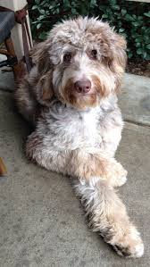 australian shepherd and poodle best 25 doodle dog ideas on pinterest doodle dog breeds golden