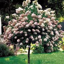 Flowering Privacy Shrubs - everyday gardeners