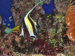 aquarium fish reconsidering the moorish idol u2014 advanced aquarist