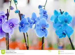 Blue Orchids Beautiful Blue Orchids Stock Photo Image 68284459