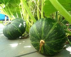plants native to japan amazon com japanese pumpkin kabocha seeds open pollinated