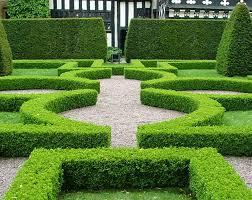 English Box Topiary - korean box plant profile oxley nursery brisbane