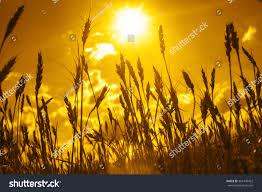 Sunset Orange by Backdrop Ripening Ears Yellow Wheat Field Stock Photo 361449452