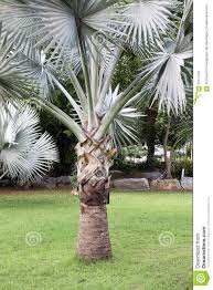 palm tree and the grass green in thailand stock photo image