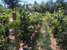 Best Backyard Vineyard Images On Pinterest Grape Vines - Backyard vineyard design