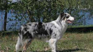 australian shepherd malamute mix view topic call of the wild dog rp accepting chicken smoothie