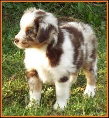7 month old australian shepherd puppy mini aussie pup for sale 2014 litter 5 callie pup 1 red merle