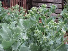 perennial garden vegetables spring season of perennial vegetables in the cold climate garden