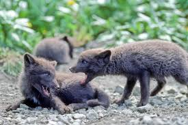 free picture fox cub cute fox animal
