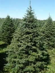 balsam fir fir green tree farm