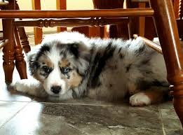 australian shepherd 11 weeks old stronger mini aussies stonger miniature and standard aussies