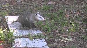 possum in my yard opossum cornered in my yard by my dogs you how