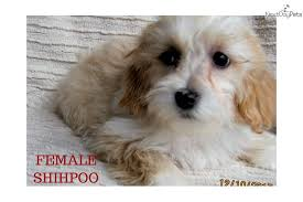 shi poo shih poo shihpoo puppy for sale near madison wisconsin 36d733af