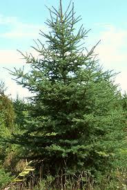 balsam fir medicinal herb info