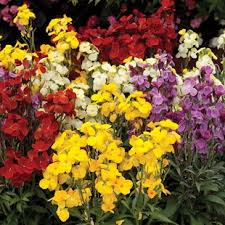 wall flowers how to grow wallflowers gardening direct