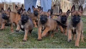 4 belgian sheepdogs puppies belgian shepherd dog malinois sale hong kong belgian