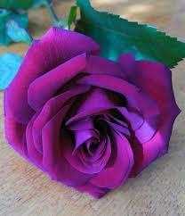 317 best violet flowers images on pinterest purple flowers