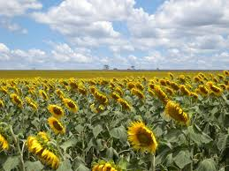 Grinter Farms Sunflower Fields Near Me Top Sunflower Fields Near Me With