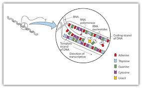 28 4 transcription of dna chemistry libretexts