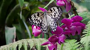photo of butterfly idea leuconoe on orchid voidphase photography