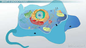 endocytosis definition types u0026 examples video u0026 lesson