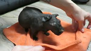 willy cage clean u0026 spa night senior skinny pig youtube