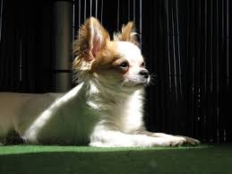 short haired chorkie information about dogs information on a chorkie chihuahua x