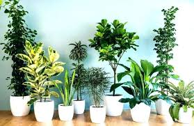 indoor plants that need no light very low light plants scribblekids org