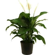 low indoor plants garden plants u0026 flowers the home depot