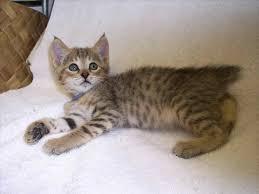 bobcat mixed with house cat geborneo club geborneo club