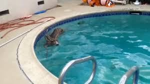 deer jumps into encino pool antlers first abc7 com