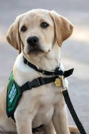 230 best service u0026 therapy dogs images on pinterest therapy dogs