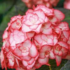 potare le ortensie in vaso ortensia macrophylla miss saori