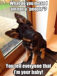 Funny German Shepherd Memes - 34 german shepherd puppy pictures that will make your heart melt