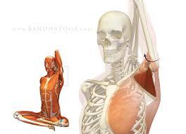 Subscapularis And Supraspinatus The Daily Bandha Shoulder Biomechanics Part I The Subscapularis