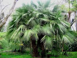 mediterranean fan palm tree tropical palms european fan palm special price