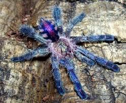 tarantula species catalog 2 album on imgur